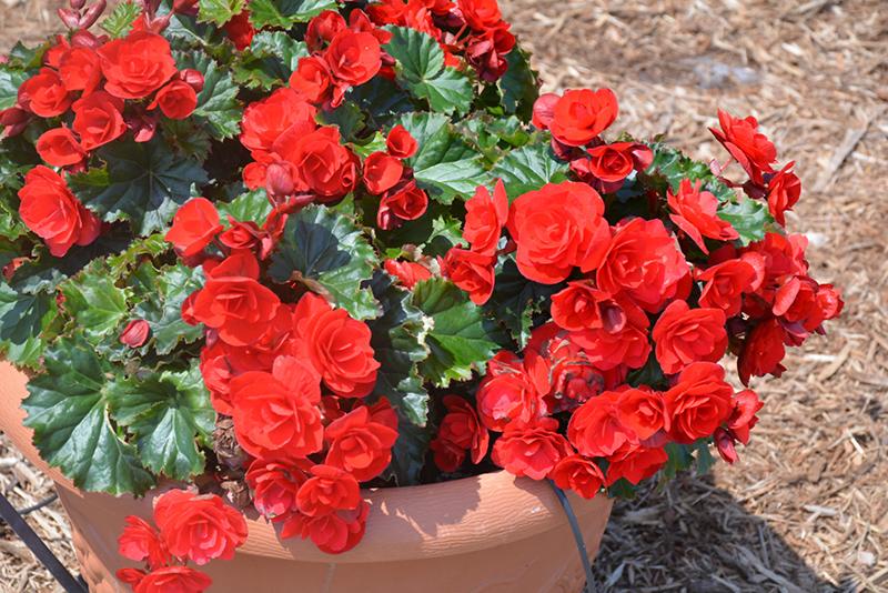 Vermillion Red Begonia (Begonia 'Vermillion Red') at Wolf Hill Home & Garden