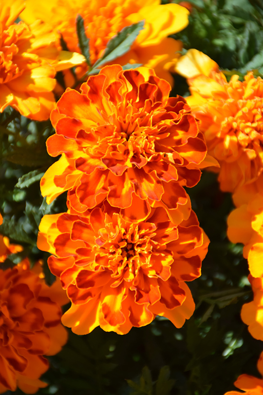 Bonanza Bolero Marigold (Tagetes patula 'PAS1197788') at Wolf Hill Home & Garden