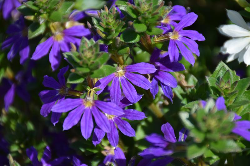 Surdiva Blue Violet Fan Flower (Scaevola aemula 'Surdiva Blue Violet') at Wolf Hill Home & Garden
