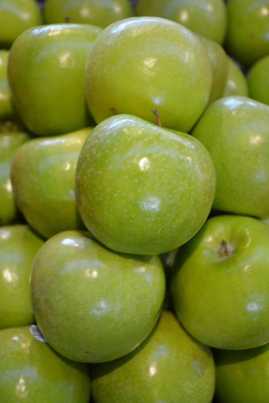 Granny Smith Apple (Malus 'Granny Smith') at Wolf Hill Home & Garden