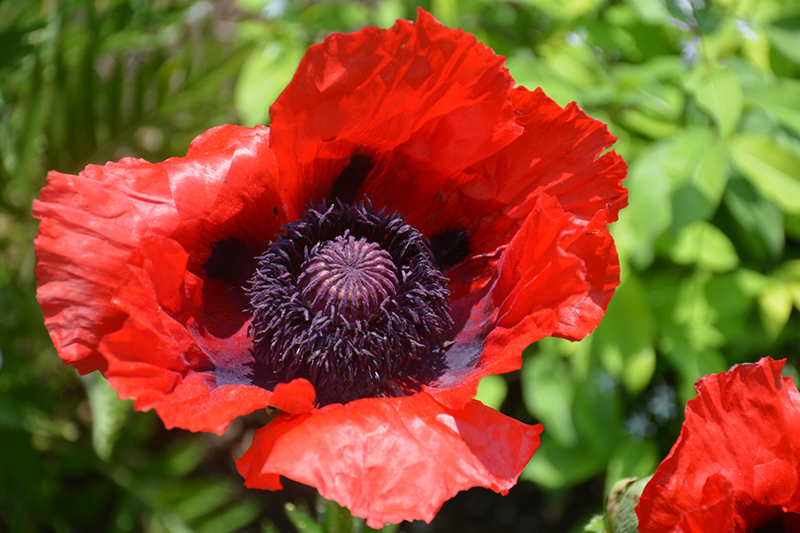 Beauty of Livermere Poppy (Papaver orientale 'Beauty of Livermere') at Wolf Hill Home & Garden
