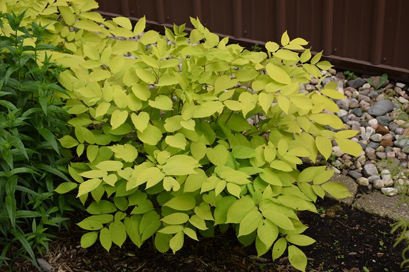 Sun King Japanese Spikenard (Aralia cordata 'Sun King') at Wolf Hill Home & Garden