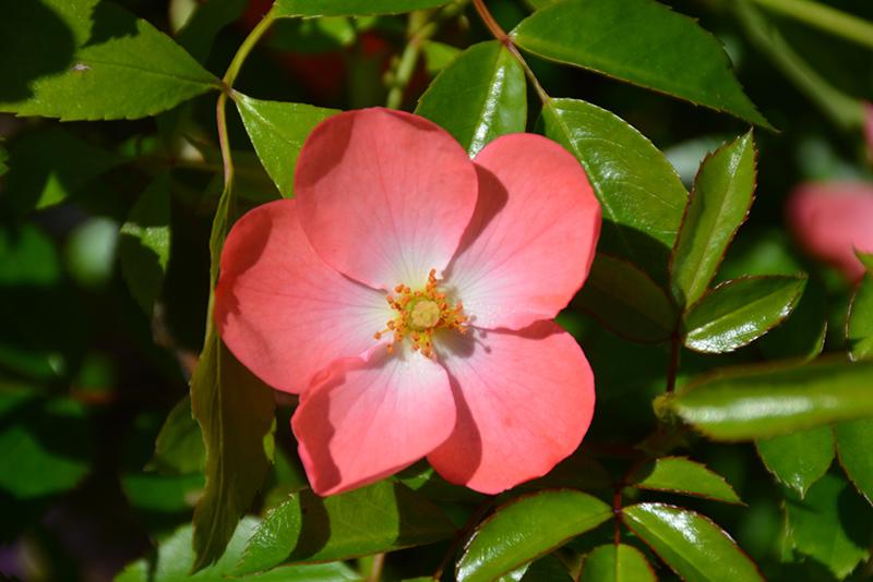 Flower Carpet Coral Rose (Rosa 'Flower Carpet Coral') at Wolf Hill Home & Garden