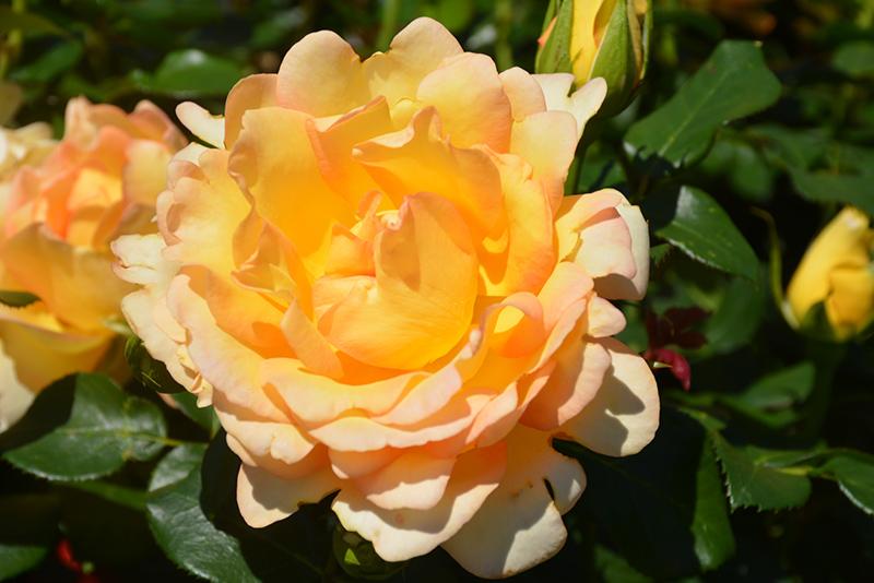 Gold Struck Rose (Rosa 'Gold Struck') at Wolf Hill Home & Garden