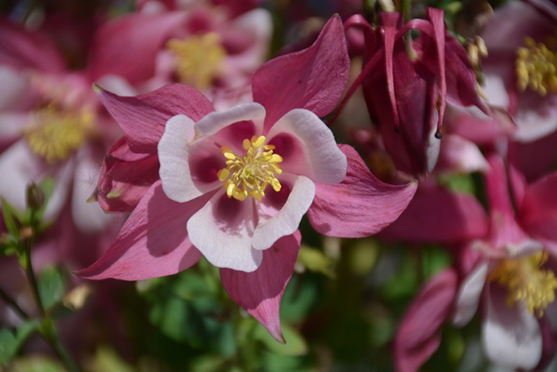 Origami Rose and White Columbine (Aquilegia 'Origami Rose and White') at Wolf Hill Home & Garden