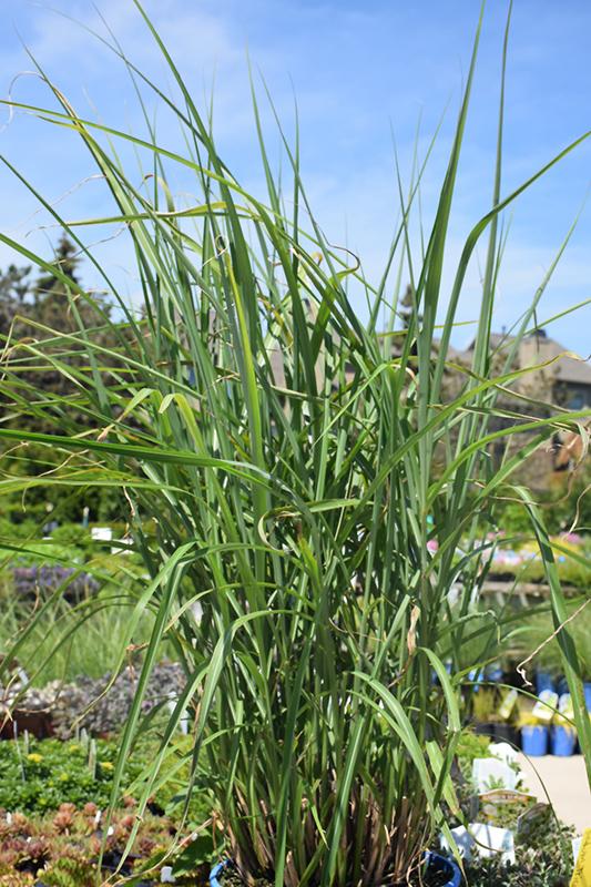 My Fair Maiden Maiden Grass (Miscanthus sinensis 'NCMS1') at Wolf Hill Home & Garden