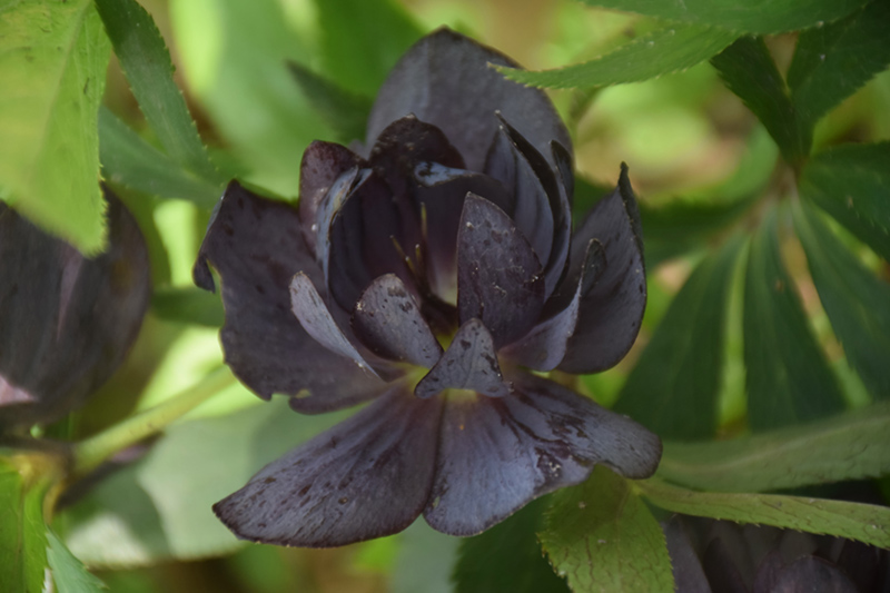 Wedding Party Dark and Handsome Hellebore (Helleborus 'Dark and Handsome') at Wolf Hill Home & Garden