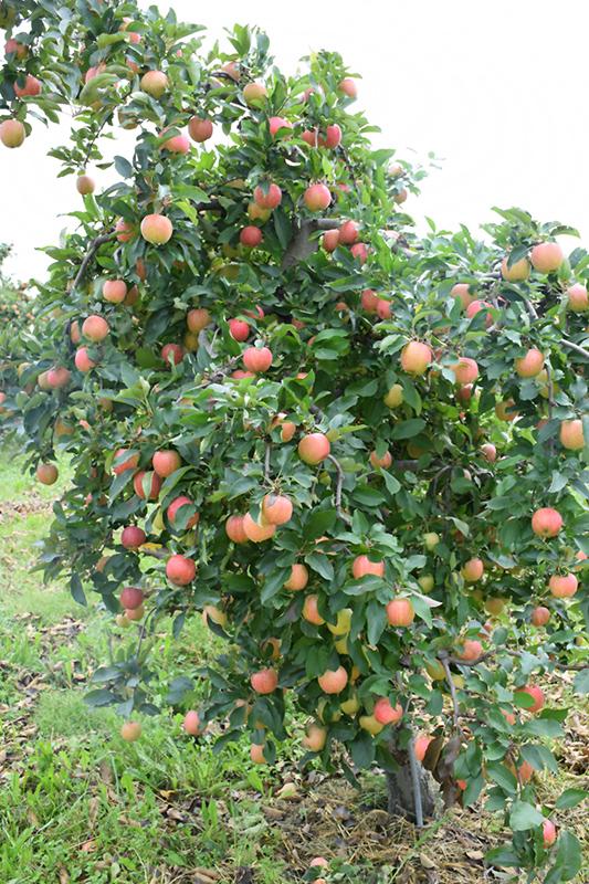Gala Apple (Malus 'Gala') at Wolf Hill Home & Garden