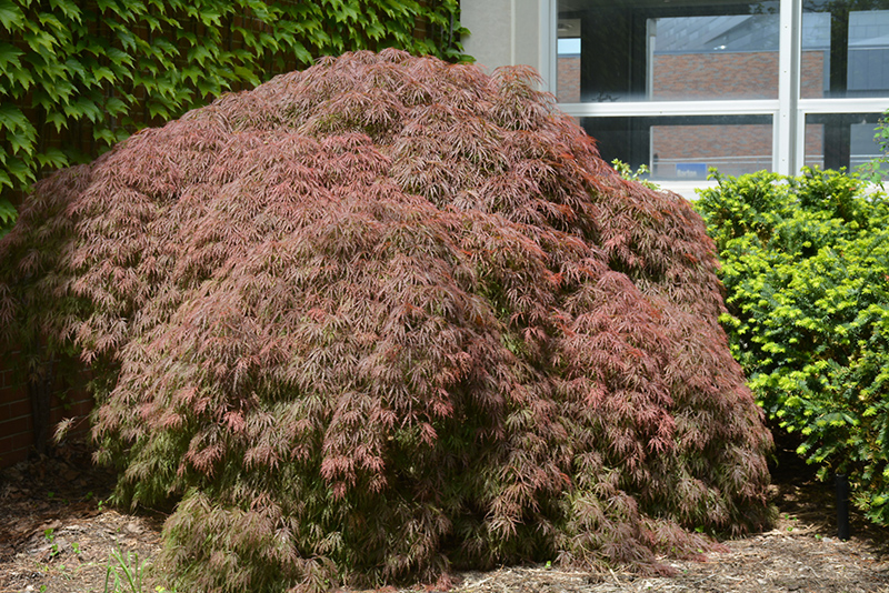 Red Select Japanese Maple (Acer palmatum 'Red Select') at Wolf Hill Home & Garden