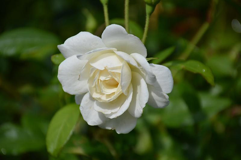 Iceberg Rose (Rosa 'Iceberg') at Wolf Hill Home & Garden