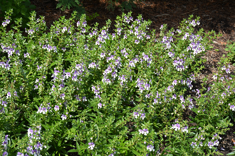 Angelface Wedgewood Blue Angelonia (Angelonia angustifolia 'Angelface Wedgewood Blue') at Wolf Hill Home & Garden