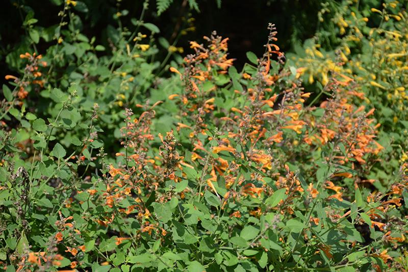 Arizona Sandstone Hyssop (Agastache 'Arizona Sandstone') at Wolf Hill Home & Garden