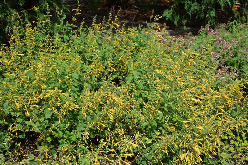 Arizona Sun Hyssop (Agastache 'Arizona Sun') at Wolf Hill Home & Garden