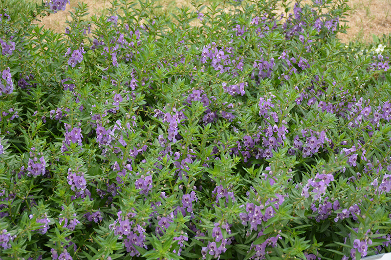 Angelface Steel Blue Angelonia (Angelonia angustifolia 'ANSTEEL') at Wolf Hill Home & Garden