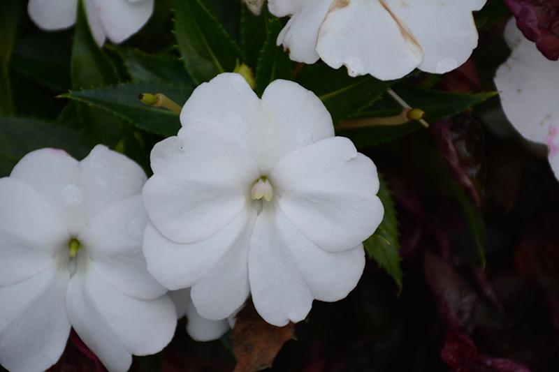 SunPatiens Compact White New Guinea Impatiens (Impatiens 'SunPatiens Compact White') at Wolf Hill Home & Garden