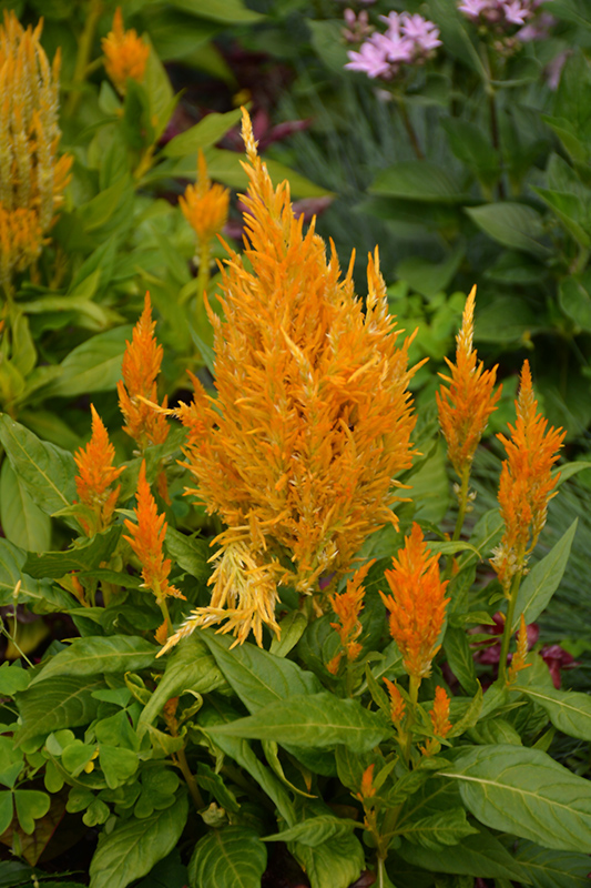Fresh Look Yellow Celosia (Celosia 'Fresh Look Yellow') at Wolf Hill Home & Garden