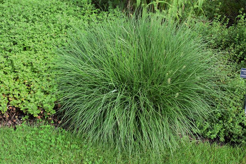 Little Bunny Dwarf Fountain Grass (Pennisetum alopecuroides 'Little Bunny') at Wolf Hill Home & Garden
