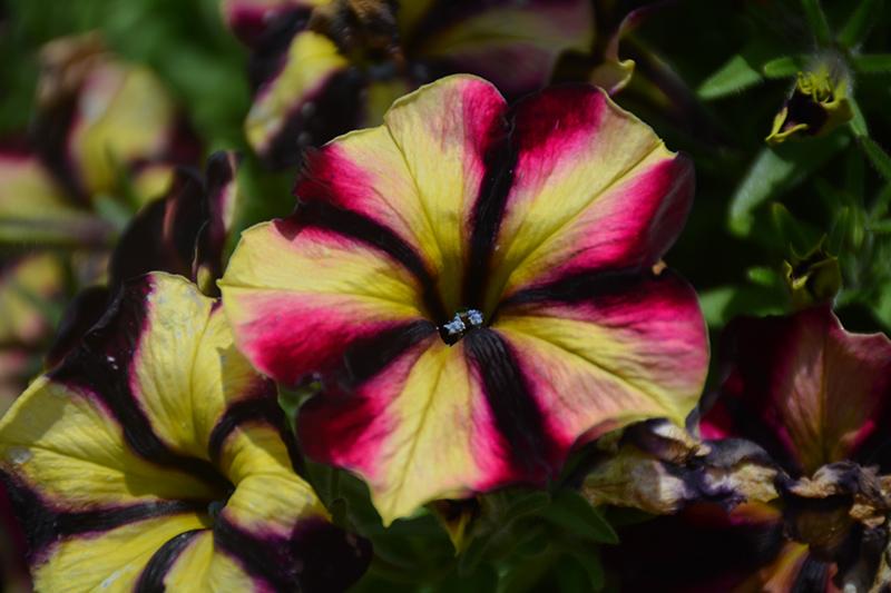 Crazytunia Bouquet Burgundy Star Petunia (Petunia 'Wespecrabobust') at Wolf Hill Home & Garden
