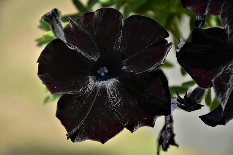 Crazytunia Black Mamba Petunia (Petunia 'Crazytunia Black Mamba') at Wolf Hill Home & Garden