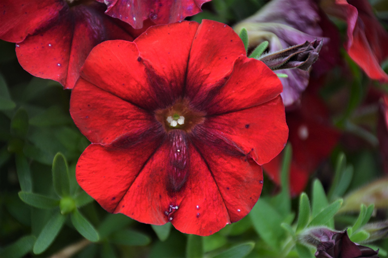 Crazytunia Red Blues Petunia (Petunia 'Crazytunia Red Blues') at Wolf Hill Home & Garden