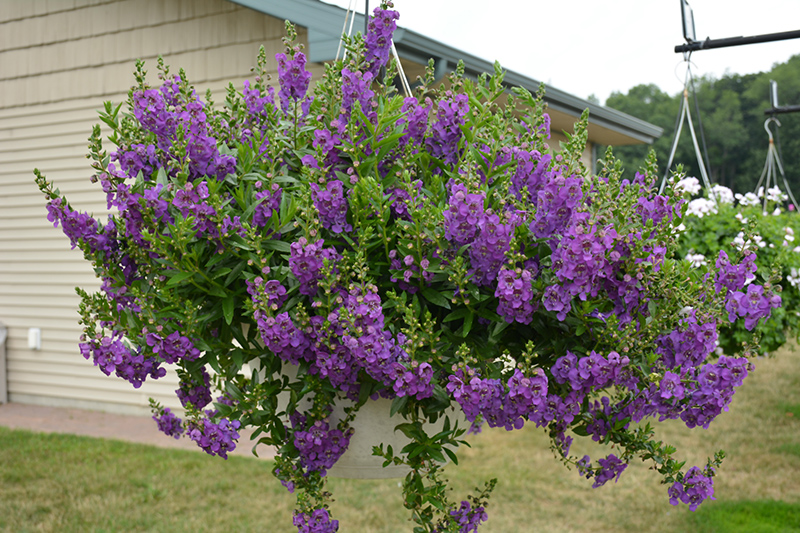 Angelface Cascade Blue Angelonia (Angelonia angustifolia 'ANCASBLU') at Wolf Hill Home & Garden