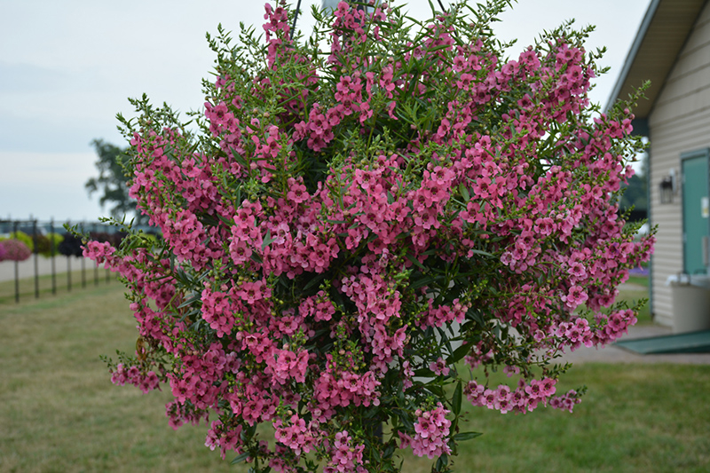 Angelface Cascade Pink Angelonia (Angelonia angustifolia 'ANCASPI') at Wolf Hill Home & Garden