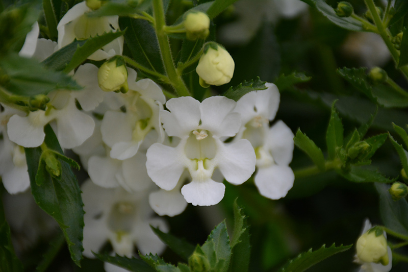 Angelface Cascade White Angelonia (Angelonia angustifolia 'ANCASWHI') at Wolf Hill Home & Garden