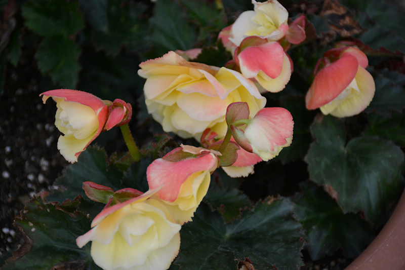 Fragrant Falls Lemon Begonia (Begonia 'Fragrant Falls Lemon') at Wolf Hill Home & Garden