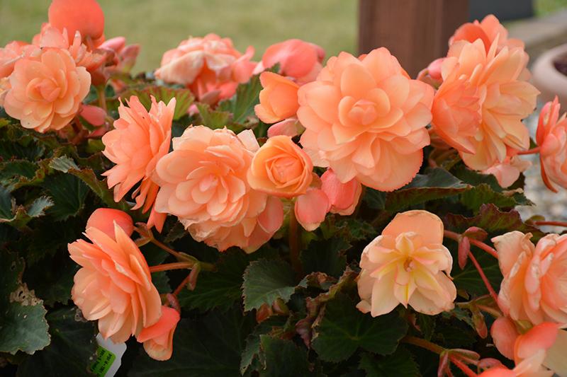 Fragrant Falls Peach Begonia (Begonia 'Fragrant Falls Peach') at Wolf Hill Home & Garden
