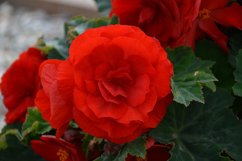 Nonstop Deep Red Begonia (Begonia 'Nonstop Deep Red') at Wolf Hill Home & Garden