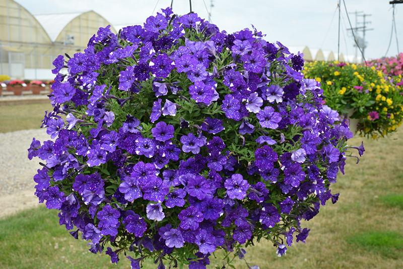 Headliner Night Sky Petunia (Petunia 'KLEPH15313') at Wolf Hill Home & Garden