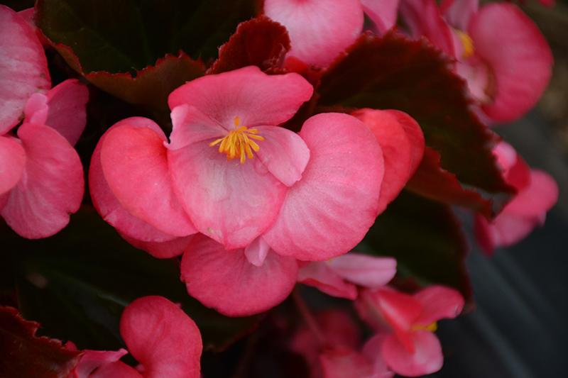 Senator IQ Deep Rose (Begonia 'Senator IQ Deep Rose') at Wolf Hill Home & Garden