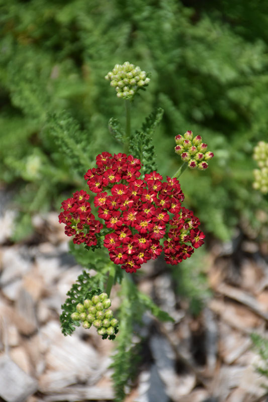 Desert Eve Red Yarrow (Achillea millefolium 'Desert Eve Red') at Wolf Hill Home & Garden