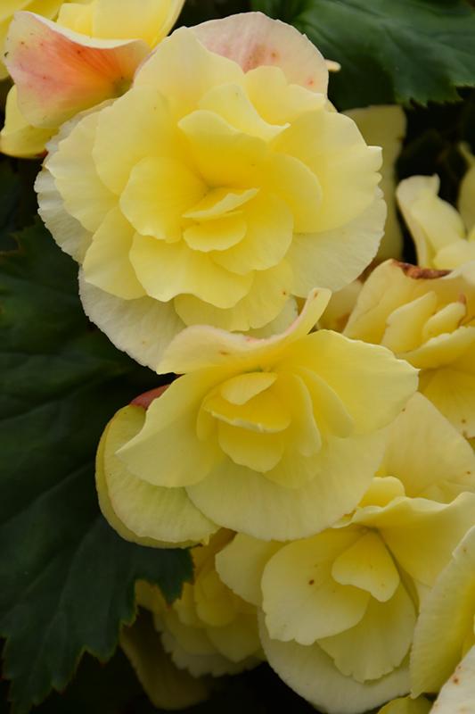 Solenia Yellow Begonia (Begonia x hiemalis 'Solenia Yellow') at Wolf Hill Home & Garden