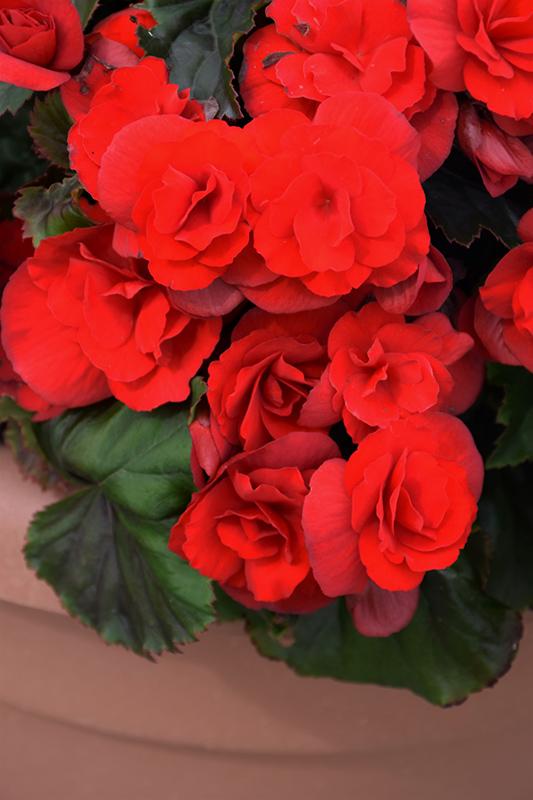 Solenia Scarlet Begonia (Begonia x hiemalis 'Solenia Scarlet') at Wolf Hill Home & Garden