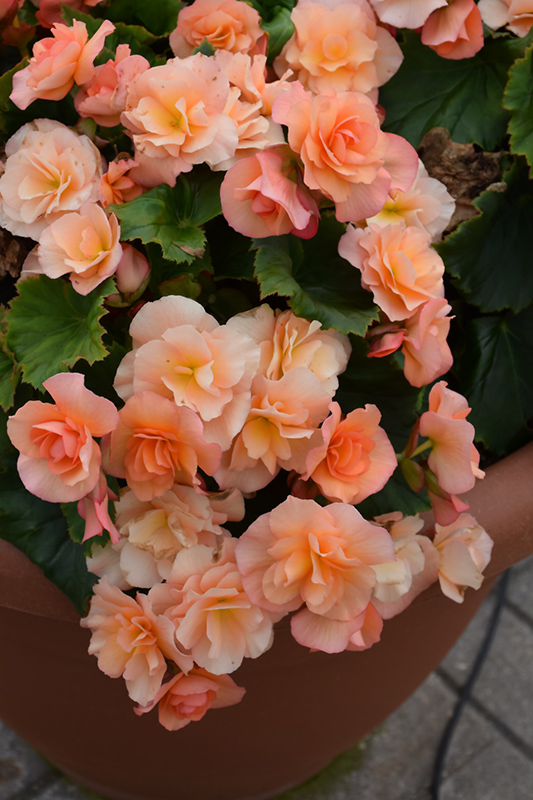 Solenia Apricot Begonia (Begonia x hiemalis 'Solenia Apricot') at Wolf Hill Home & Garden
