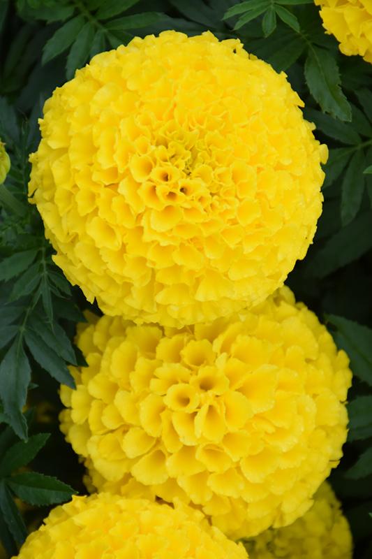 Taishan Yellow Marigold (Tagetes erecta 'Taishan Yellow') at Wolf Hill Home & Garden