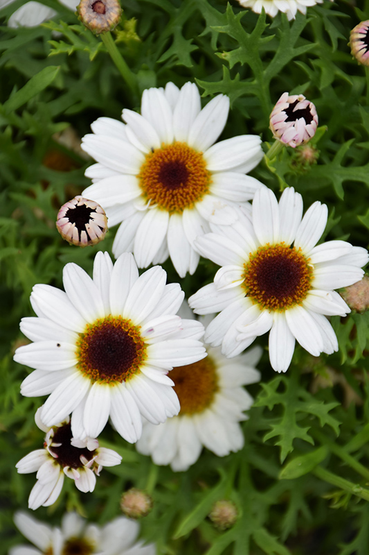 Grandaisy White Daisy (Argyranthemum 'Grandaisy White') at Wolf Hill Home & Garden