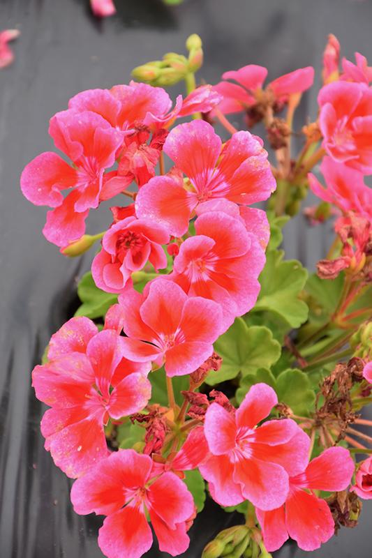 Calliope Medium Rose Mega Splash Geranium (Pelargonium 'Calliope Medium Rose Mega Splash') at Wolf Hill Home & Garden