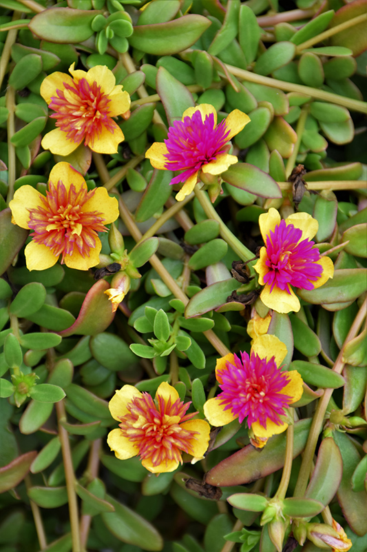 ColorBlast Double Guava Portulaca (Portulaca 'Wespocobldogu') at Wolf Hill Home & Garden
