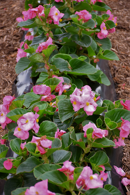Tophat Pink Begonia (Begonia 'Tophat Pink') at Wolf Hill Home & Garden