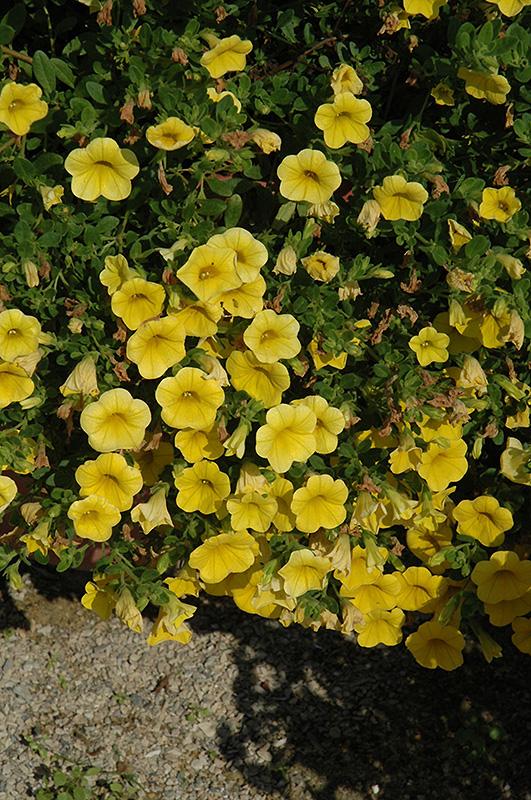 Noa Yellow Calibrachoa (Calibrachoa 'Noa Yellow') at Wolf Hill Home & Garden