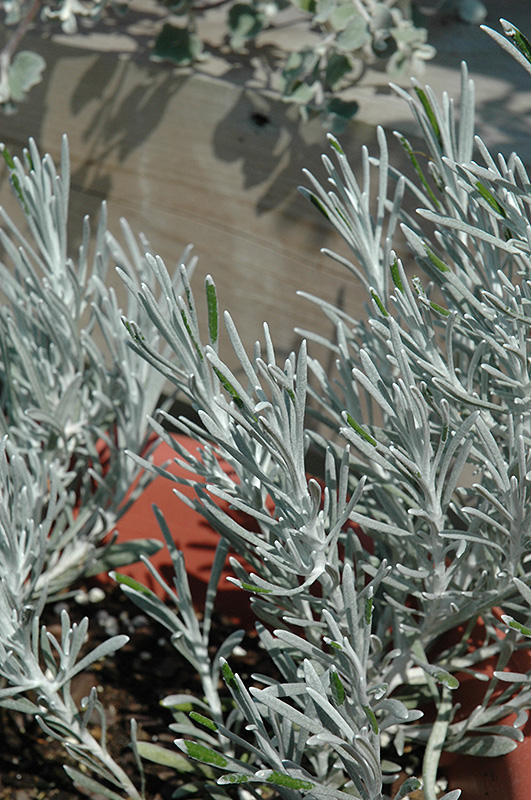 Icicles Licorice Plant (Helichrysum thianschanicum 'Icicles') at Wolf Hill Home & Garden