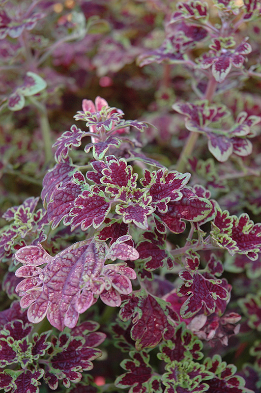 Inky Fingers Coleus (Solenostemon scutellarioides 'Inky Fingers') at Wolf Hill Home & Garden