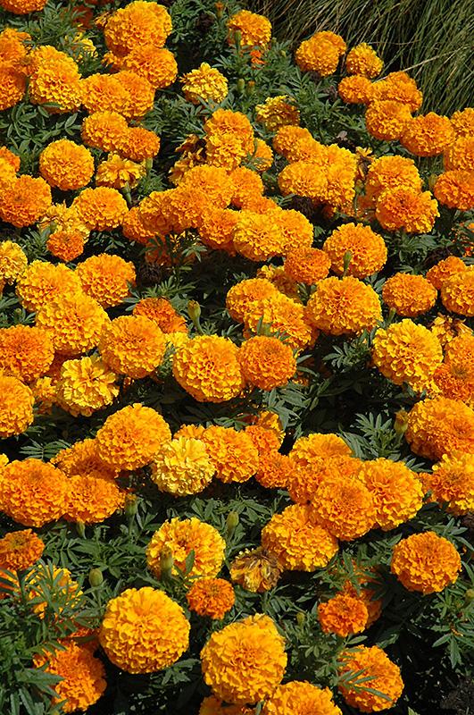 Taishan Orange Marigold (Tagetes erecta 'Taishan Orange') at Wolf Hill Home & Garden