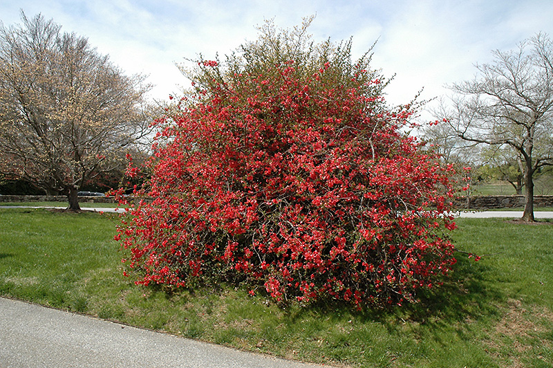 Texas Scarlet Flowering Quince (Chaenomeles speciosa 'Texas Scarlet') at Wolf Hill Home & Garden