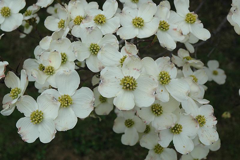 Cloud 9 Flowering Dogwood (Cornus florida 'Cloud 9') at Wolf Hill Home & Garden