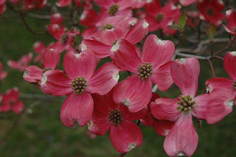 Cherokee Chief Flowering Dogwood (Cornus florida 'Cherokee Chief') at Wolf Hill Home & Garden