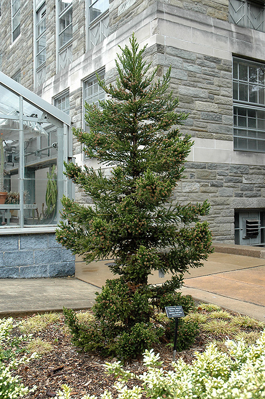 Black Dragon Japanese Cedar (Cryptomeria japonica 'Black Dragon') at Wolf Hill Home & Garden
