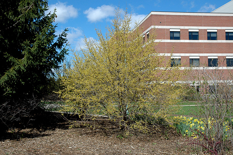 Cornelian Cherry Dogwood (Cornus mas) at Wolf Hill Home & Garden